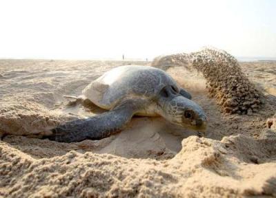 مرگ 300 لاک پشت در معرض خطر در مکزیک
