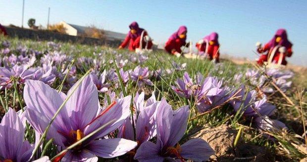 کشت زعفران در رباط کریم 20 درصد افزایش داشته است