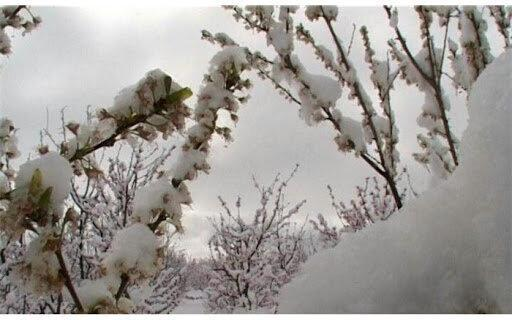 سرمای دیرهنگام 285 میلیارد تومان به باغات مشگین شهر خسارت زده است
