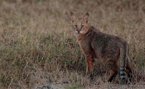 مشاهده گربه وحشی در زیستگاه های دهگلان