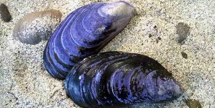 پژوهش مشترک محققان دانشگاه تهران و دانشگاه فناوری تایوان، درمان نواقص استخوانی با صدف دریای خزر