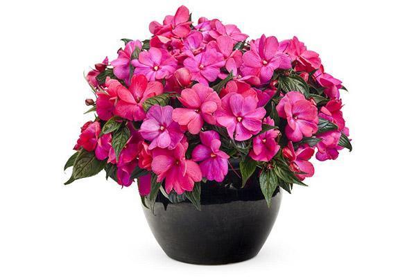روش نگهداری گل حنا و تکثیر آن