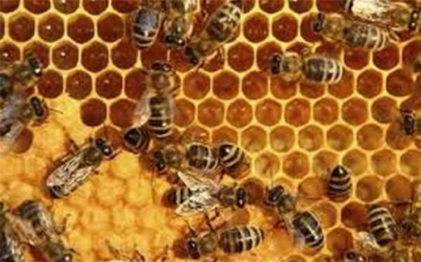 شیوه نامه اجرایی زنجیره ارزش محصولات زنبور عسل سال جاری نهایی می گردد