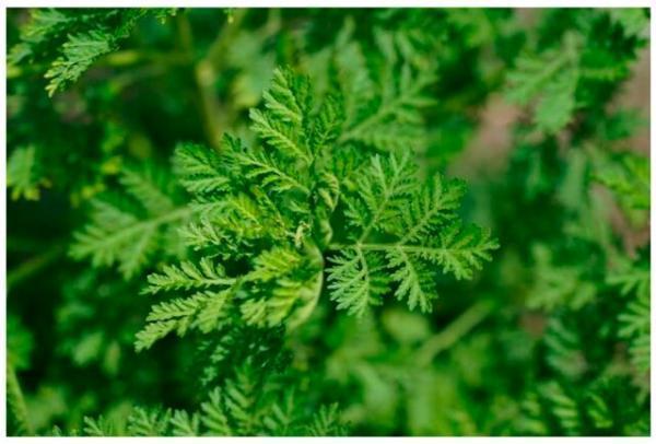 گیاهی برای درمان سرطان تخمدان